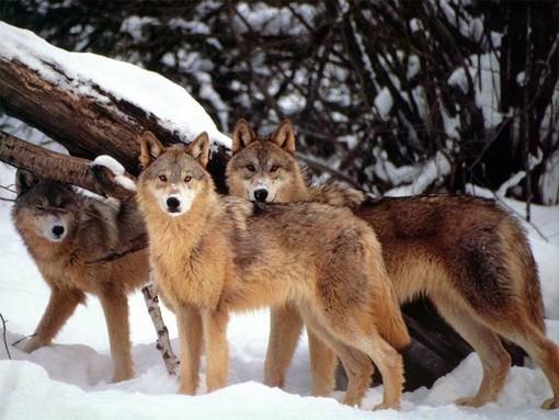 """Lega abolizione caccia Piemonte: """"Ingiustificato allarmismo riguardo la presenza di lupi nel Biellese"""""""