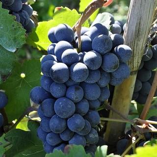Aziende vitivinicole piemontesi: 3,8 milioni per investire in tecnologie e punti vendita