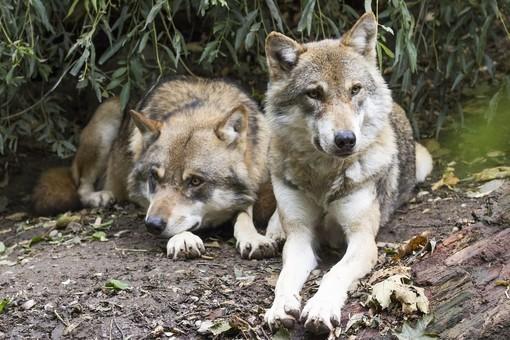 Una serata per parlare del lupo con il Cai Varallo